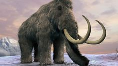 The Ice Age beasts were living on a remote island off the coast of Alaska, and scientists have dated their demise to about 5,600 years ago. They believe that a warming climate caused lakes to become shallower, leaving the animals unable to quench their thirst. Most of the world's woolly mammoths had died out by about 10,500 years ago.