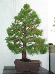 cloud pruning dwarf alberta spruce - Google Search - more inspiration... Bonsai Tree Types, Bonsai Trees, Dwarf Alberta Spruce, Cloud Pruning, Single Tree, Miniature Trees, Growing Tree, Small Trees, Tropical Garden
