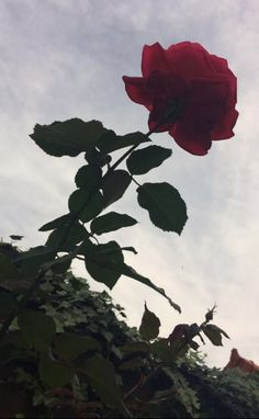 Red Rose Tumblr, Red Flowers, Red Roses, Love Backgrounds, Flower Shower, Rose Wallpaper, Aesthetic Pictures, Beautiful Roses, Aesthetic Wallpapers