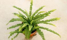 Lemon button fern in a terracotta pot