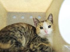 MORCIA - A1093335 - - Brooklyn  ***TO BE DESTROYED 10/20/16*** MORCIA was found at the public library and brought to the shelter in a cat trap, in hopes of a furrever home. MORCIA is shy and curls up in her litter box, because she's not completely trusting of the shelter. She is hesitant about being pet, but she shows no aggression. This pretty kitty just needs time to warm up to her new home. She would be great in an experienced pet home with no children. If MORCIA isn�