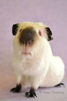 Foster - Black Himalayan Guinea Pig - love the black nose, feet and ears!