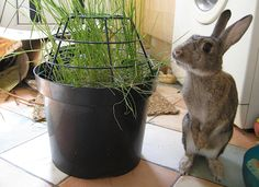 Grow grass in a pot, and the cage keeps the buns from getting to the roots. What a clever idea for letting bunnies eat indoor grass without damaging the roots. Rabbit Garden, House Rabbit, Funny Bunnies, Cute Bunny, Rabbit Toys, Bunny Rabbit, Bunny Room, Bunny Cages, Raising Rabbits