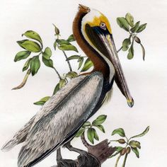 John James Audubon, Birds of America, First Edition, Birds, Pelican, Brown Pelican, Illustrations, Engravings, Lithographs, Fine Art, Art, Vintage, Collectibles, Ebay, Natural History, Collectibles, Vintage, Flowers, Plants, Landscape, Wildlife, Animals, Animali, Uccelli, Paesaggi, Stampe, Stampe Antiche, Litografie, Storia Naturale