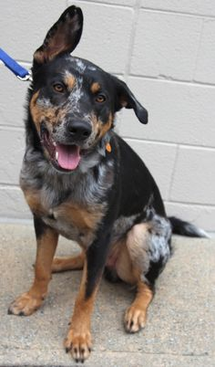 Meet Tiger. He is around 1-2 years old. Tiger is good with other dogs and would be a great running buddy. He is a big boy at about 60 pounds. He is very friendly and loves all people they have met.