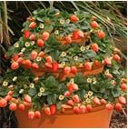 Easy strawberry tower.  I'd like about 10 of these.  I think I have the pots for one or two.  I'll start there.