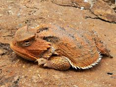 Mountain Short Horned Lizard Diego Ortiz