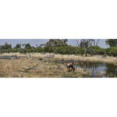 Herd of Zebras Impalas (Aepyceros melampus) Warthog (Phacochoerus aethiopicus) and Bushbuck (Tragelaphus scriptus) in a forest Chitabe Okavango Delta Botswana Canvas Art - Panoramic Images (36 x 12)