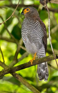 Barred Forest Falcon // Carnifex barré