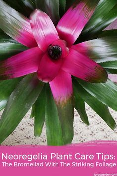Neorgelia plant care tips: the bromeliad with the striking foliage. How to grow this easy care plant indoors - a video guides you.