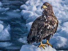 Steller's sea eagle, perched on pack ice off the coast of Rausu, Hokkaido. Beautiful, huge birds who fish in those freezing coastal waters. Steller's Sea Eagle, Eagle Bird, Eye For Detail, Bald Eagle, Coastal, Japan, Explore, Prints, Photography