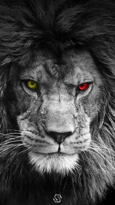 Browse millions of popular galatasaray wallpapers and ringtones on zedge an Lion Wallpaper Iphone, Animal Wallpaper, Mobile Wallpaper Android, Colorful Wallpaper, Lion Eyes, Lion Sketch, Lion Photography, Tier Wallpaper, Lion Love