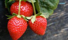 Strawberries Strawberry Salsa, Strawberry Planters, Strawberry Garden, Strawberry Jelly, Strawberry Fields, Strawberry Ideas, Strawberry Sundae, Fruit Garden, Vegetable Garden