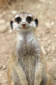 Meerkat smiling. What a beautiful smile!