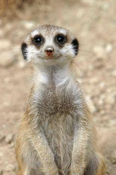 Meerkat smiling. What a beautiful smile!