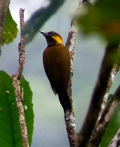 Lita Woodpecker Piculus litae - Google Search