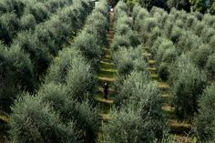 In Tuscany and Puglia, making olive oil is a lifestyle, one threatened by bad weather and a killer bacteria. Olive Tree, Tuscany Italy, Ny Times, Trip Planning, Olive Oil, Trees, Country Roads, Travel Plan, Olives
