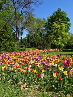 Mesébe illő képek - tulipánvirágzás a Vácrátóti Arborétumban Tree Forest, Hungary, Dolores Park, Marvel, Spring, Outdoor, Beautiful, Trees, Outdoors