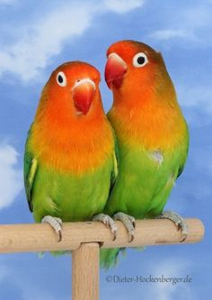 Pfirsichköpfchen African Lovebirds, Otters Cute, Love Birds, Wildlife, Parrots, Drawings, Feathers, Passion, Painting