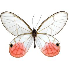 Cithaerias merolina - Pink-Tipped Satyr The Pink-Tipped Satyrs are also known as blushing phantoms. They are a species of butterfly found from Mexico south to South America. They are perhaps best known for their clear wings. They are small and quite delic Papillon Butterfly, Butterfly Frame, Butterfly Kisses, Butterfly Colors, White Butterfly, Butterfly Wings, Beautiful Bugs, Beautiful Butterflies, Borboleta Tattoo