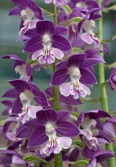Orchidées.