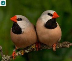 https://www.facebook.com/WonderBirdSpecies/ Long-tailed finch/Blackheart Finch/Shaft-tail finch/Heck's grassfinch (Poephila acuticauda); Australia; IUCN Red List of Threatened Species 3.1 : Least Concern (LC)(Loài ít quan tâm) || Sẻ đuôi dài; Họ Chim Di-Estrildidae; Loài đặc hữu Australia.