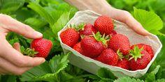 Die Volksmedizin nutzt die Blätter der Erdbeeren gegen Ausschläge und innere Erkrankungen, wie zum Beispiel Durchfall, Blasenentzündungen oder Fieber.