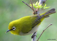 Pretty Birds, Love Birds, Beautiful Birds, Animals Beautiful, Cool Art Drawings, Bird Drawings, Black Bird Fly, Sparrow Bird, White Eyes