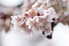 Cherry blossom in Kyoto☺️