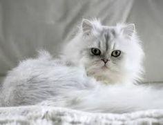 chinchilla cat - Google Search