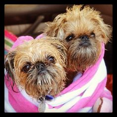 #beachbunnies #brusselsgriffon - @stacyz713- #webstagram