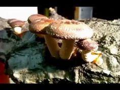 How to grow Shiitake Mushrooms