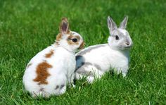 A pair  of white and brown rabbits