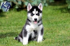 Duncan – Siberian Husky Puppies for Sale in PA | Keystone Puppies