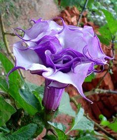 Purple Triple Datura metel 15 seeds fancy ruffled by SmartSeeds