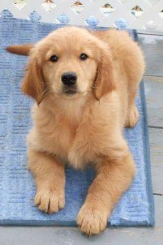 Cute Golden Retriever puppy on a blue area rug.