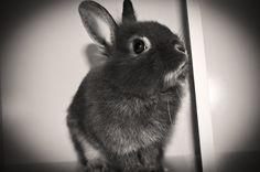 Sir Cookie Grey. (Bunny)