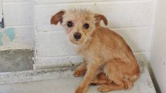 URGENT+++INJURED++*PUPPY* Still there!! He is tiny and adorable but he's very overwhelmed in the shelter and he needs some help. SHELTHER IS FULL!! Please SHARE, a FOSTER would save his life. Thanks!  #A4837420 I'm an approx 1 year old male terrier. I have been at the Carson Animal Care Center since June 1, 2015. at C403.Gardenia CA
