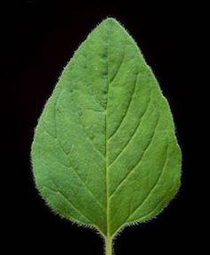Lung Cleansing Benefits of Oregano | Natural Health & Organic Living Blog