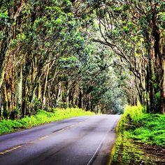 Tunnel of trees on the way to Koloa Town in Kauai.