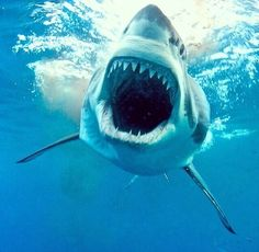 Requin blanc en plongeon - whiteshark diving - Click the link to see the newly released collections for amazing beach bikinis! The Great White, Great White Shark, Orcas, Deep Blue Shark, Monster Shark, Types Of Sharks, Fauna Marina, Shark Photos, Shark Bait