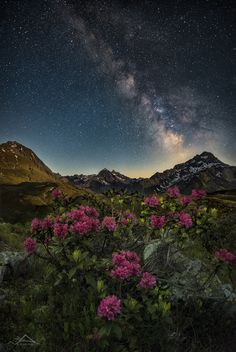 Spring in the Alps - Spring in the Tyrolean Alps. (Hairy) Alpenrose in front of the rising Milkyway. Please view on black, if you are a kind person! ;-)