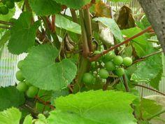 Nezralé hroznové víno