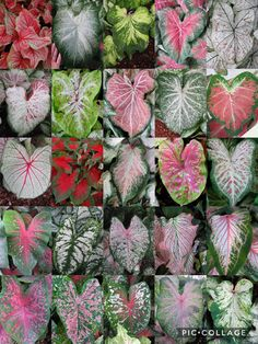 Vertical Garden Plants, Outdoor Plants, Tropical Garden, Tropical Plants, Calathea Plant, Caladium Garden, Houseplant, All About Plants, Decoration Plante