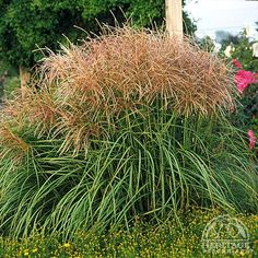 Miscanthus sinensis 'Huron Sunrise' it is best known as the most heavily blooming Maiden Grass with large, full, burgundy plumes appearing from late summer into fall. Trim back to 4 inches in late winter or early fall. Garden Plants, Grass, Foliage, Rain Garden, Ornamental Grasses, Landscape, Perennials, Plants, Backyard