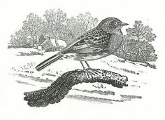 Thomas Bewick Cards  - 2 frames with 5 different prints each framed Dunnock1.jpg (685×499)