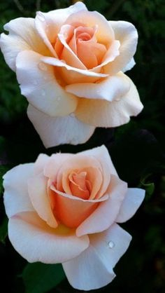 Peach Rose - simple peach rose expresses sociability, friendliness, purity and innocence. genuine warmth and sincere thoughts Beautiful Rose Flowers, Pretty Roses, Exotic Flowers, Beautiful Flowers, Beautiful Beautiful, Foto Rose, Rose Reference, Flower Pictures, Pink Roses