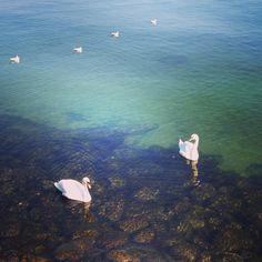 lucky swan