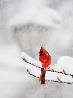 54 trendy red bird in snow pictures Pretty Birds, Love Birds, Beautiful Birds, Animals Beautiful, Adorable Animals, Winter Scenery, Winter Colors, Snow Pictures, Bird Pictures