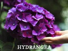 Hydrangea bushes can produce beautiful showy flowers and grow up to six feet wide, but buying lots of bushes can be pricey. Learn how to get many hydrangea bushes from one original plant. Beautiful Flowers, Propagating Plants, Plants, Types Of Hydrangeas, Growing Hydrangeas, Purple Flowers, When To Prune Hydrangeas, Hanging Plants, Garden
